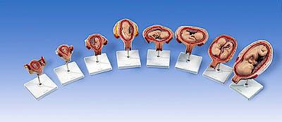 Serie de Embarazo, 8 Modelos