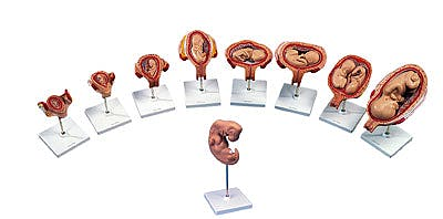 Serie de Embarazo, 9 Modelos