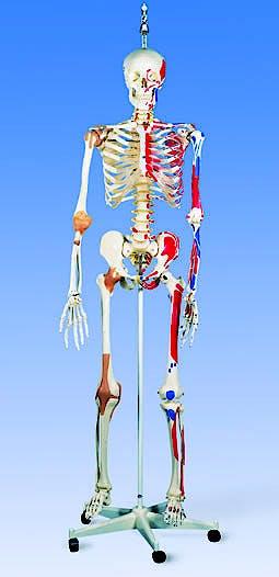 Esqueleto de Lujo con Musculos y Ligamentos con Soporte Colgante 186cm.