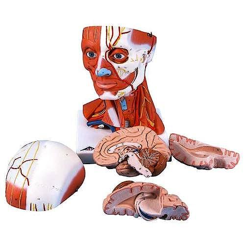 Musculatura de Cabeza y Cuello
