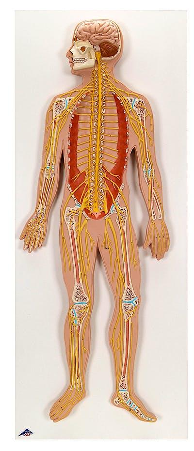 Sistema Nervioso (Modelo en Relieve)