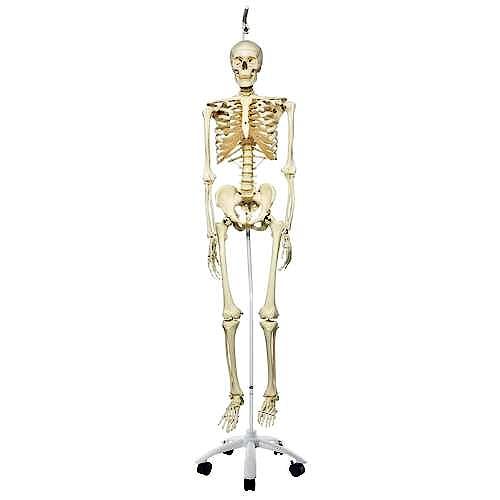 Esqueleto Estándar con Soporte Colgante 186 cm.