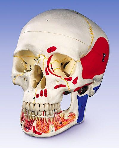 Craneo Dental con Musculos Pintados, 3 Partes