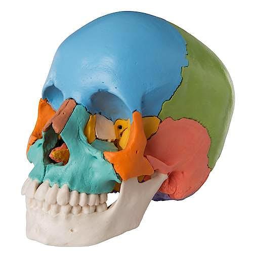 Cráneo Desmontable, 22 Piezas, Versión Didáctica (en Colores)