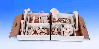 Medio Esqueleto Desarticulado, Mano y Pie Articulados con Nylon