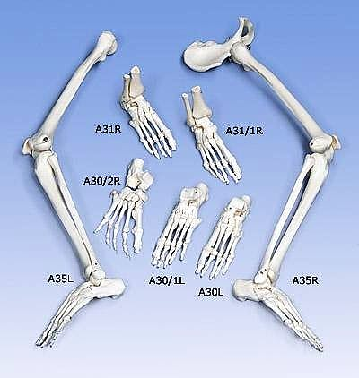Esqueleto del Pie Izquierdo con Nombre de Huesos en Latin
