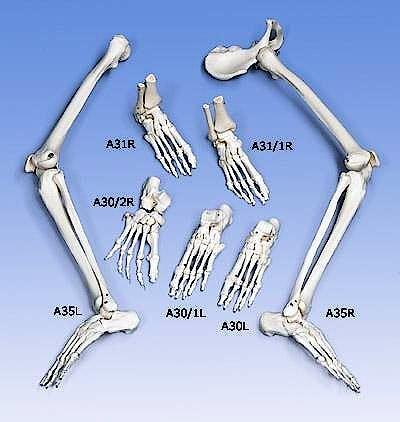 Esqueleto del Pie Ensartado en Nylon
