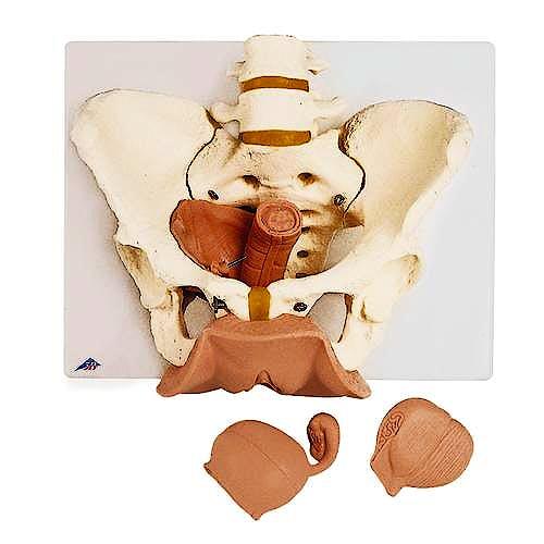 Esqueleto de Pelvis Femenina con Órganos Genitales (3 Piezas)