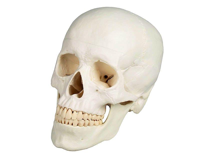 Cráneo, 3 Partes