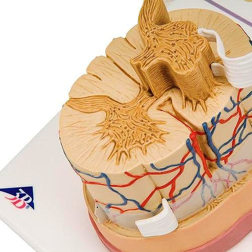 Médula Espinal con Terminaciones Nerviosas