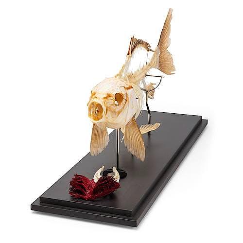 Esqueleto de carpa, preparado