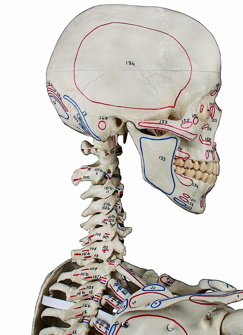 """Esqueleto con Columna Vertebral Móvil y Músculos Pintados """"Peter"""""""