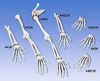 Esqueleto de la Mano Ensartado en forma Suelta sobre Nylon