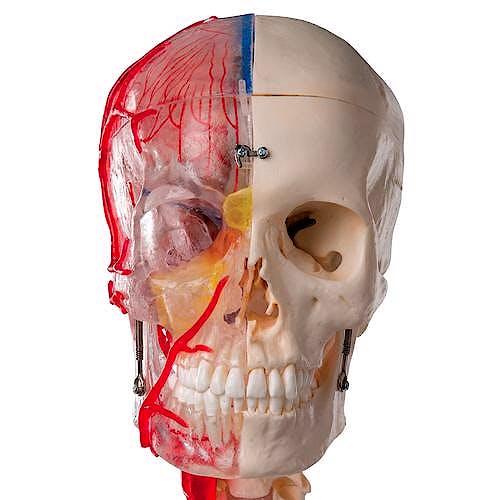 Cráneo Didáctico de Lujo, 7 Piezas