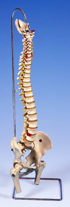 Columna Vertebral Extra Resistente con Cabezas de Fémur