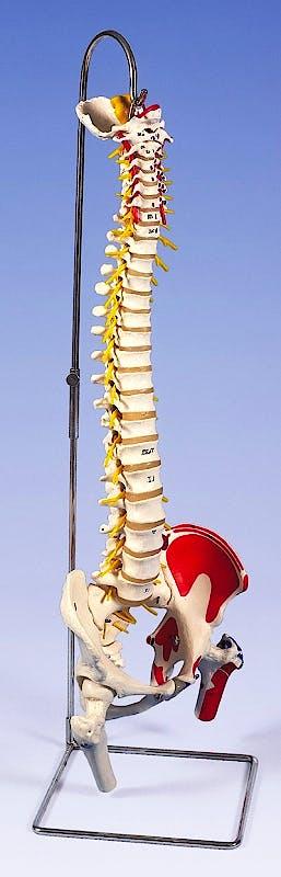 Columna Vertebral Versión de Lujo con Cabezas de Fémur y Músculos Pintados