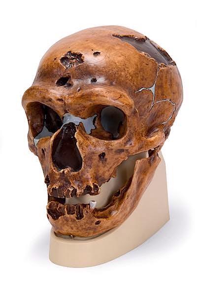 Cráneo Antropológico la Chapelle Aux Saints (Réplica del Cráneo del Homo Neanderthalensis (La Chapelle-Aux-Saints 1)