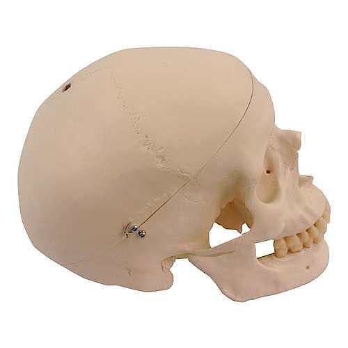 Craneo de Recambio para Esqueletos A10, A10/5, A12, A15, A15/2 y A15/3