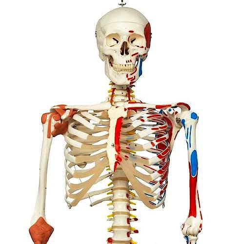 Esqueleto de Lujo con Músculos y Ligamentos con Soporte de Rodillos con Freno 170 cm.