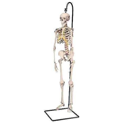 Mini Esqueleto Shorty sobre Soporte Colgante (94 cm.)
