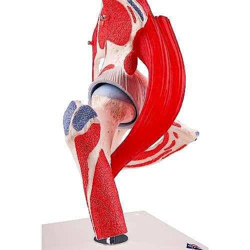 Articulación de la Cadera, 7 Piezas