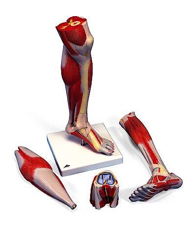 Pierna con Músculos y con Rodilla de Lujo, 3 Partes