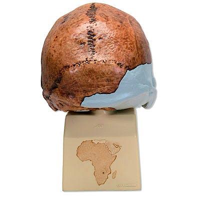 Réplica del Cráneo del Homo Rhodesiensis (Broken Hill Woodward, 1921) con Soporte