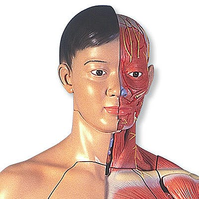Figura Corporal Completa Asiatica de Doble Sexo, 39 Partes