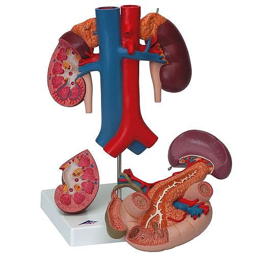 Riñones con Organos Posteriores del Abdomen Superior, 3 Piezas