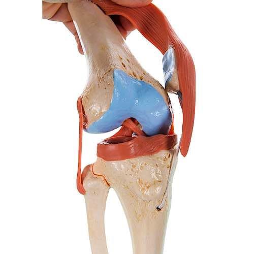 Modelo Funcional de la Articulación de la Rodilla de Lujo