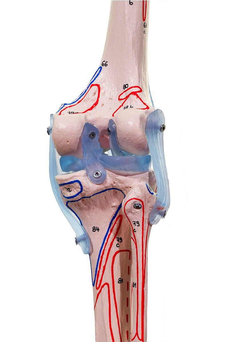 """Esqueleto con Columna Vertebral Móvil, Músculos Pintados y Ligamentos """"Max"""""""