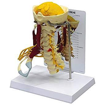 Columna Cervical con Músculos Deluxe