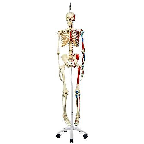 Esqueleto con Músculos con Soporte de Rodillos con Freno 170 cm.