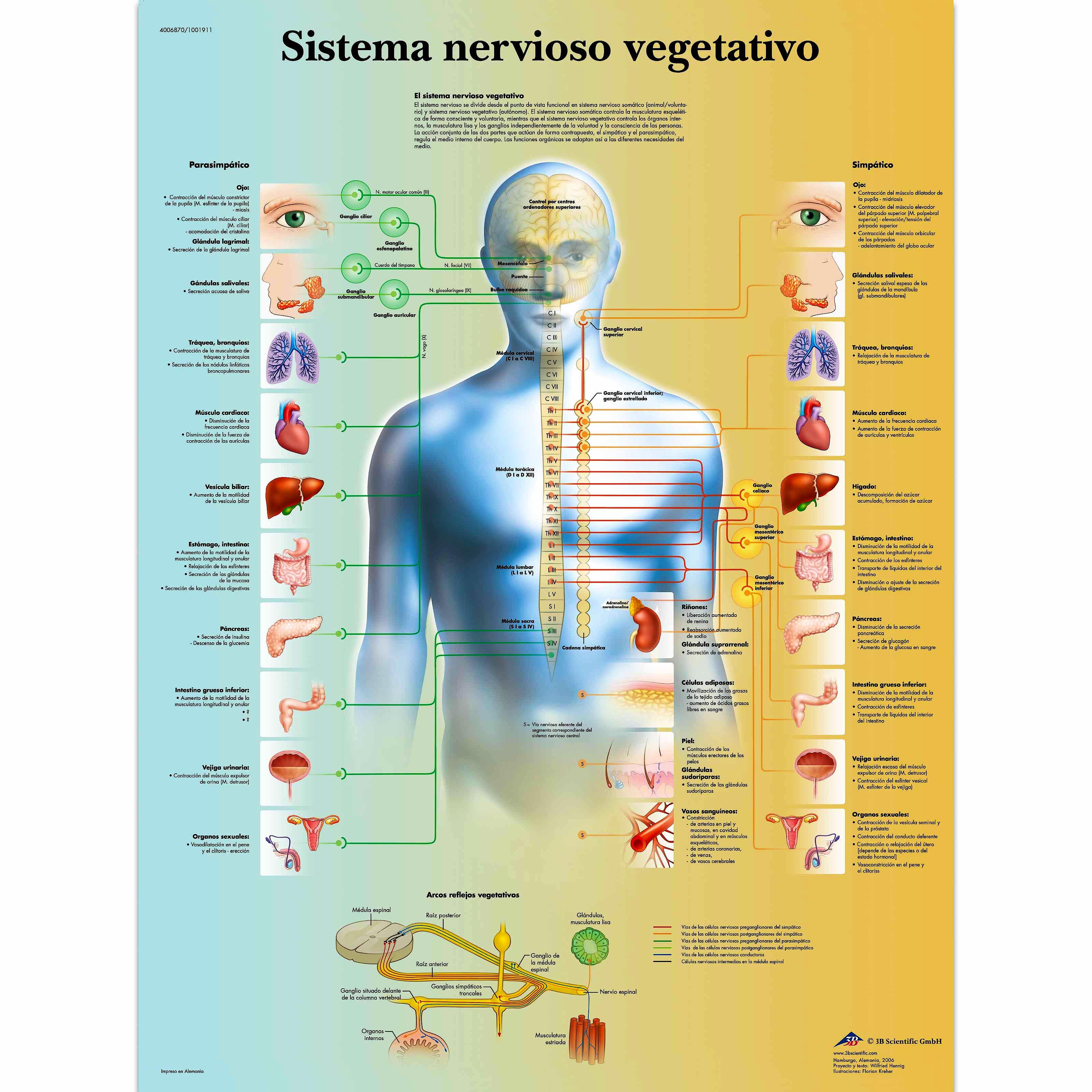 Lámina Sistema Nervioso Vegetativo (formato 50 x 67 cm)