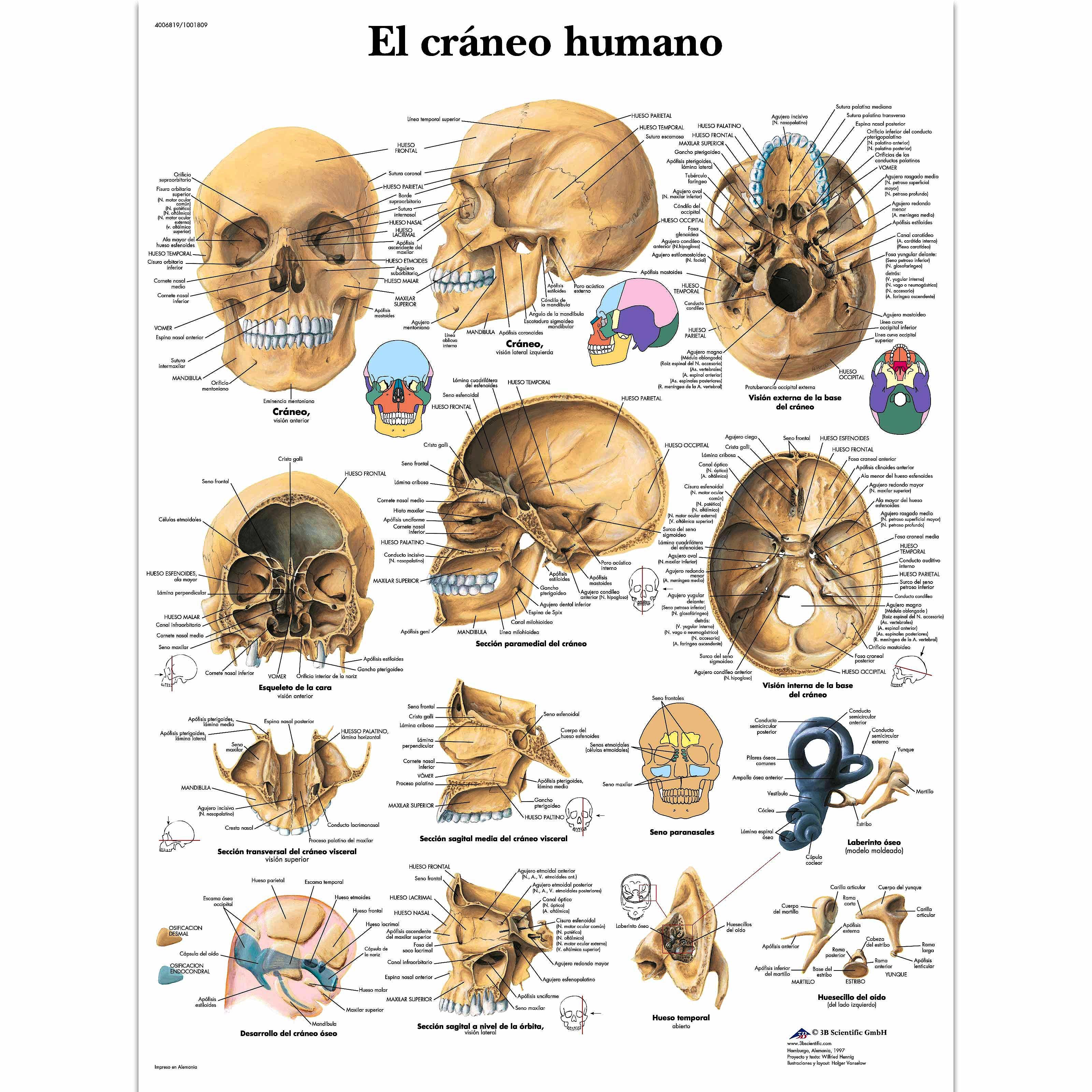 Lámina el Cráneo Humano (formato 50 x 67 cm)