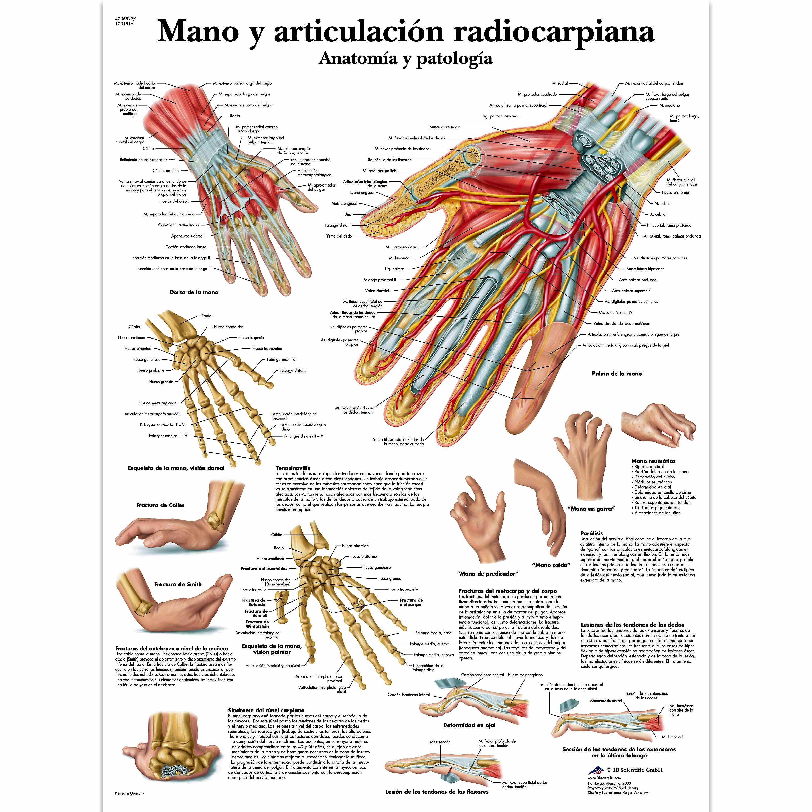 Lamina Mano y Articulacion Radiocarpiana (formato 50 x 67 cm)