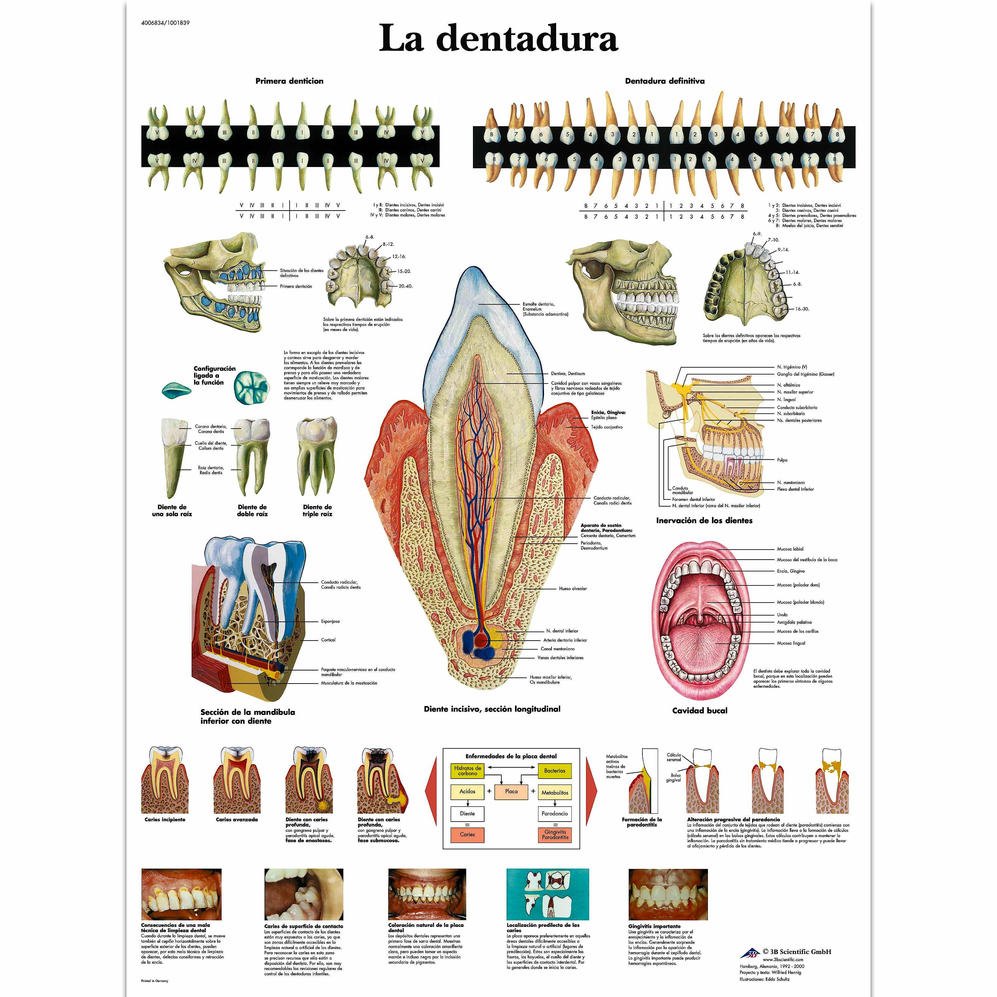 Lamina la Dentadura (formato 50 x 67 cm)