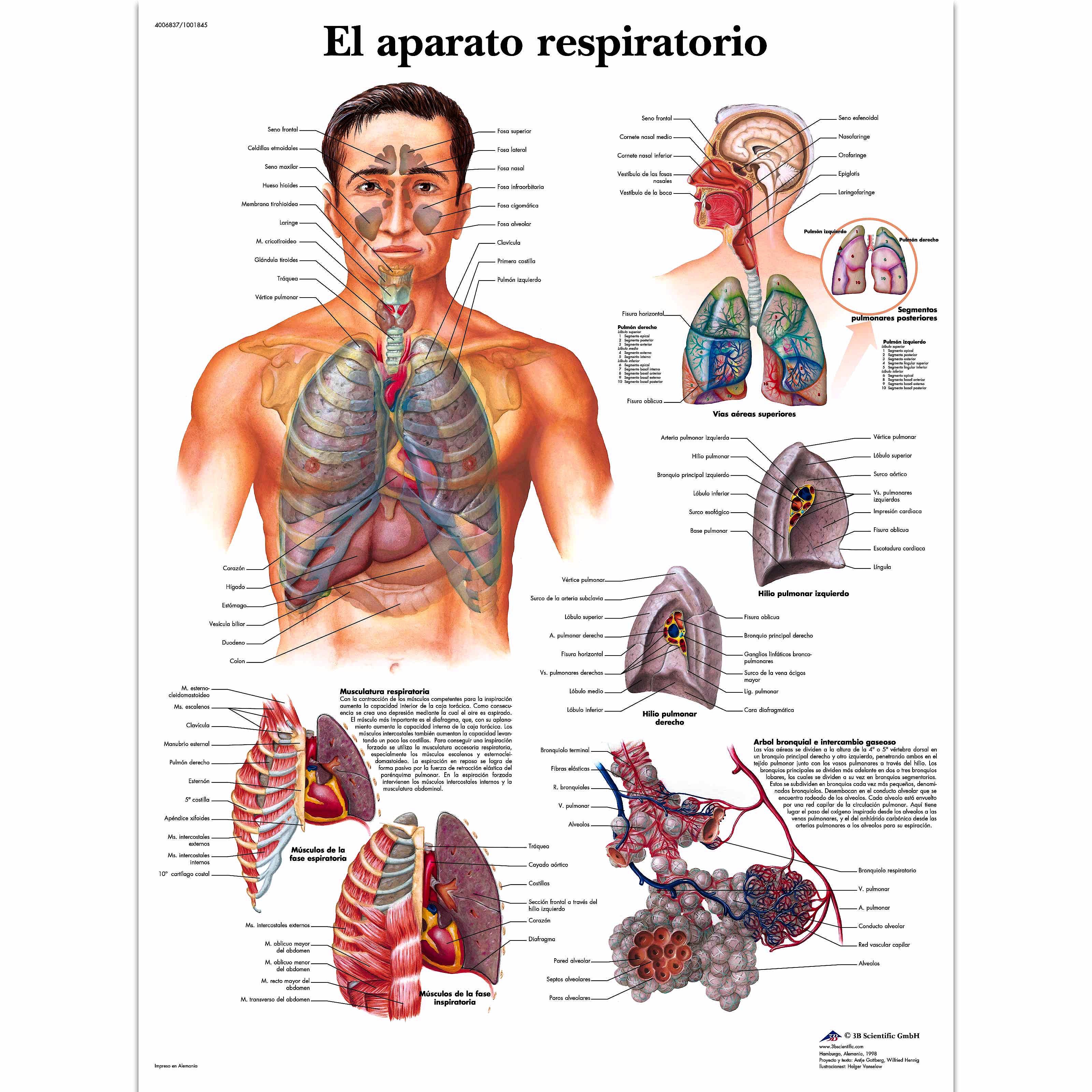 Lámina el Aparato Respiratorio (formato 50 x 67 cm)