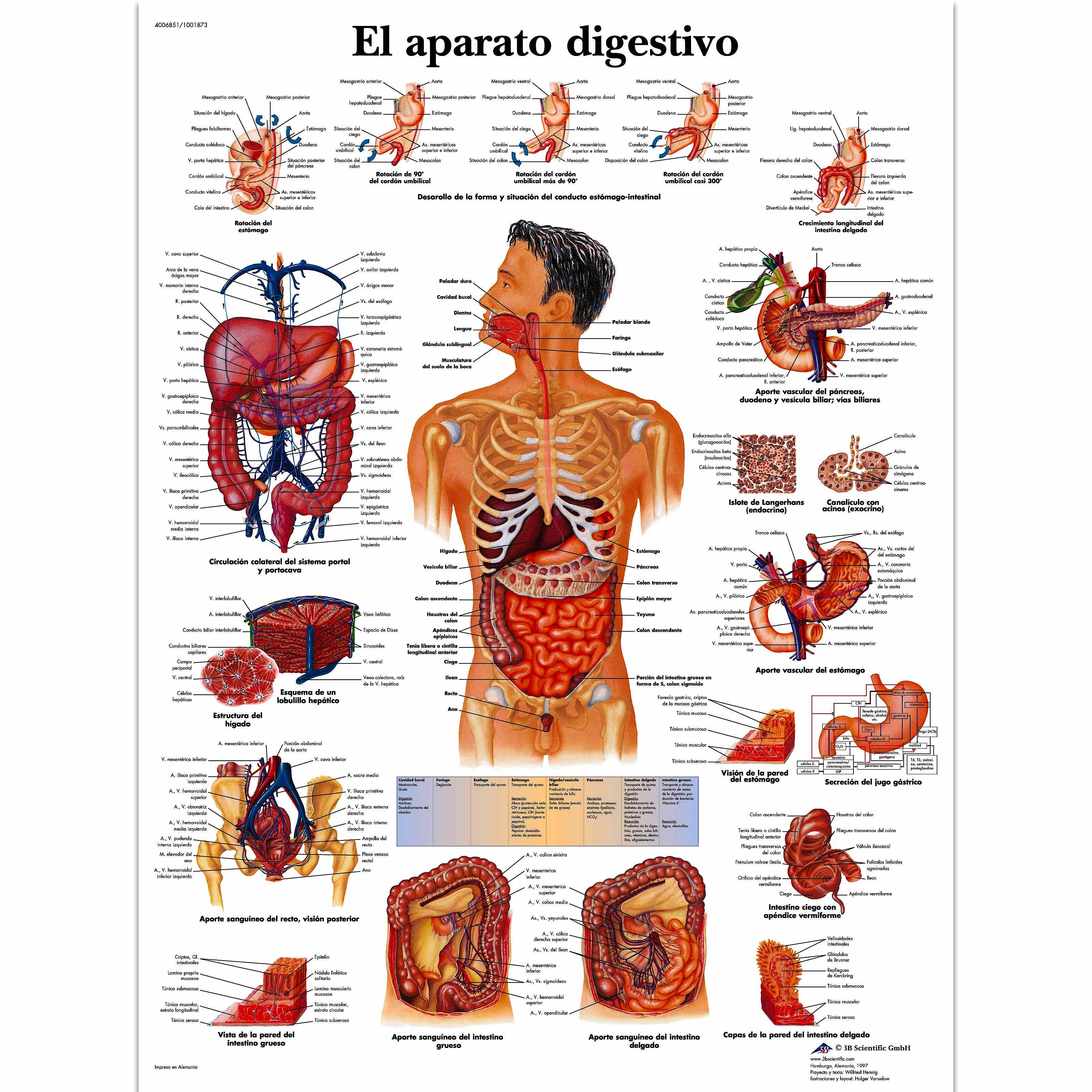 Lámina el Aparato Digestivo (formato 50 x 67 cm)
