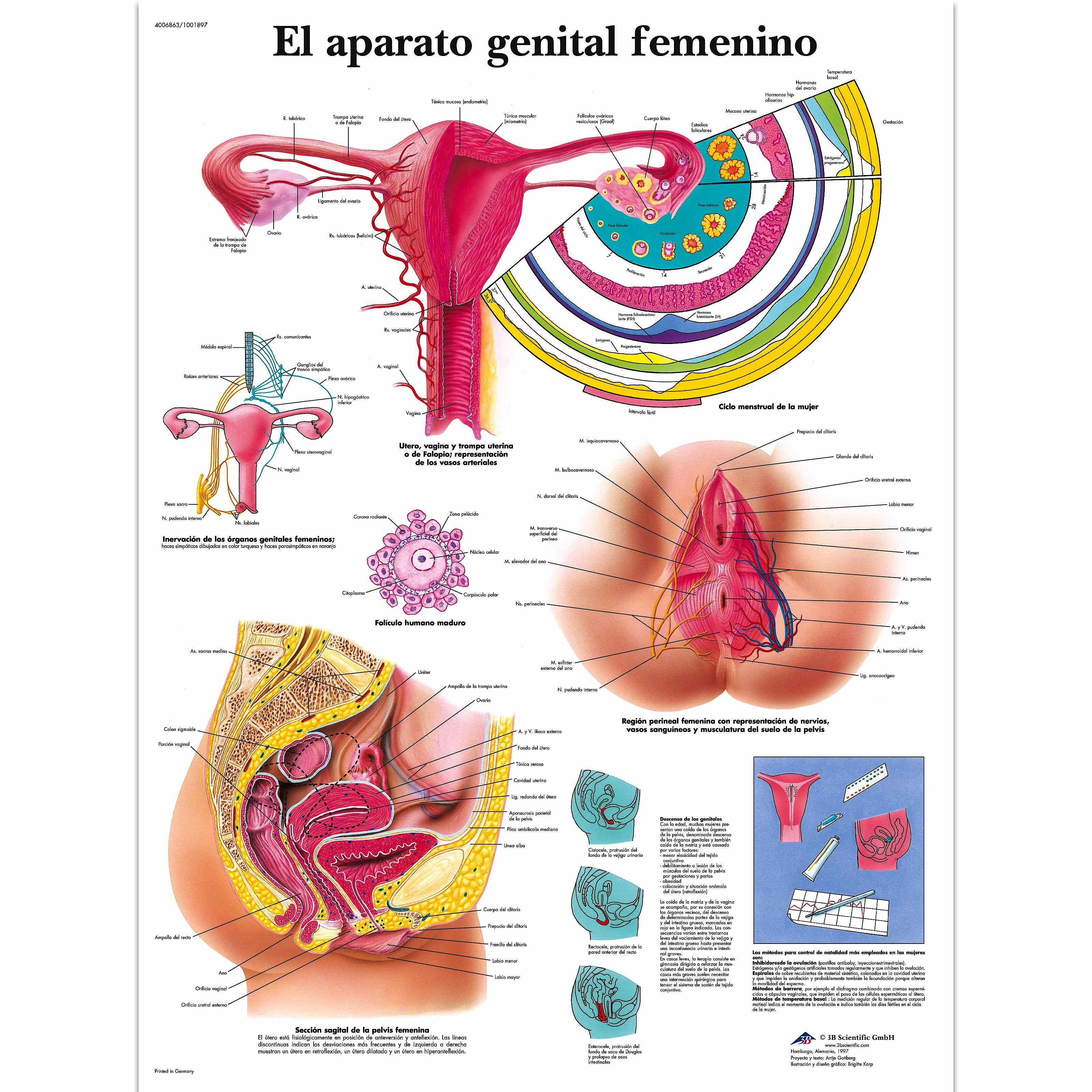 Lámina el Aparato Genital Femenino (formato 50 x 67 cm)