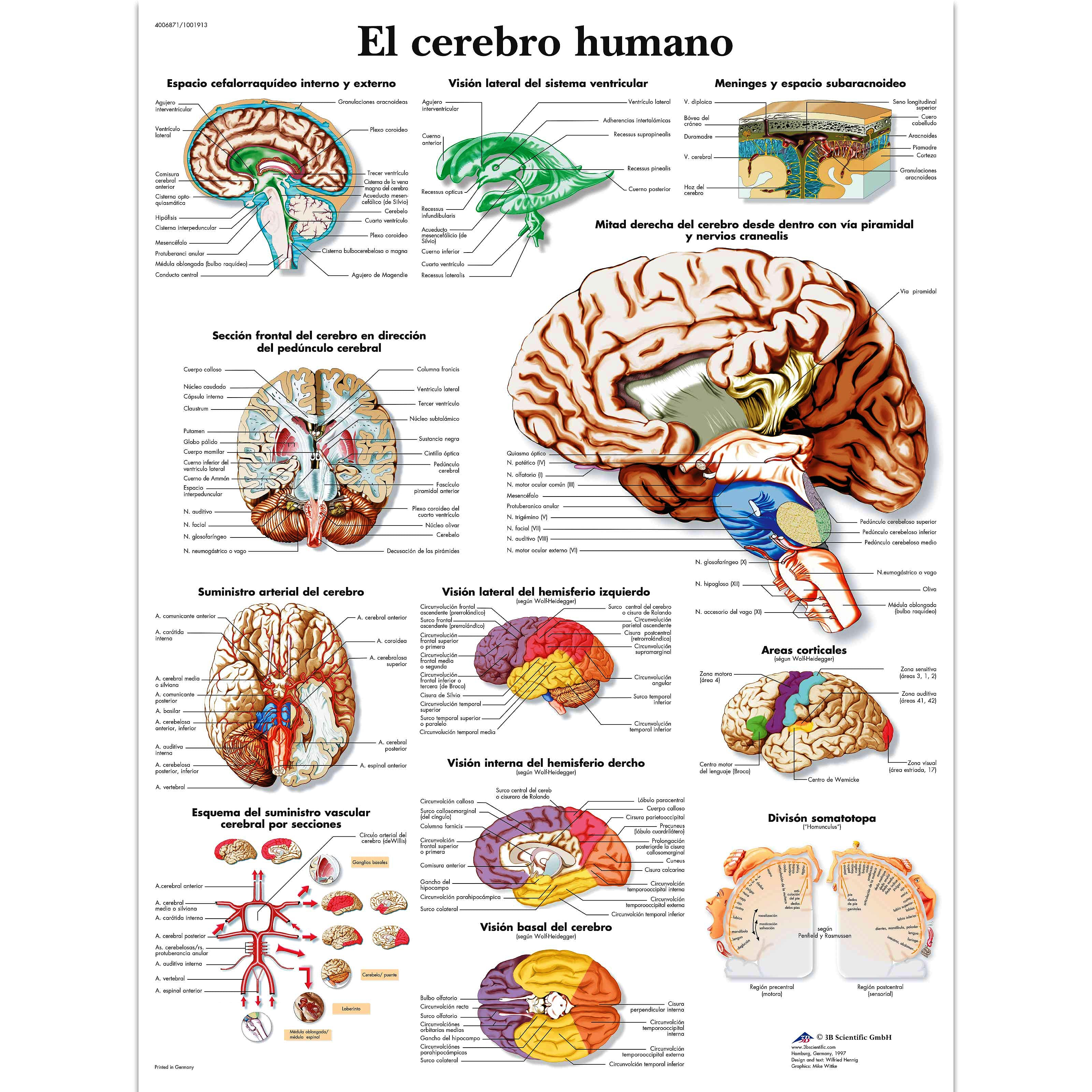 Lámina el Cerebro Humano (formato 50 x 67 cm)