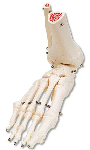 Esqueleto del Pie con Partes de Tibia y Peroné Articulado en Alambre
