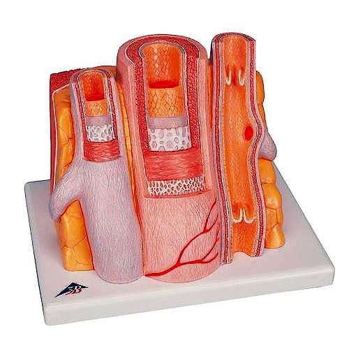 3B MICROanatomy™ Arteria y Vena (Magnificación de 14 Veces)