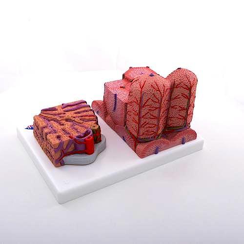 3B MICROanatomy™ Hígado