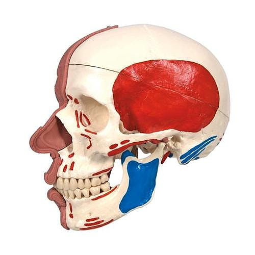 Cráneo con Músculos Faciales