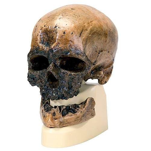 Cráneo Antropológico Cromagnon con Soporte