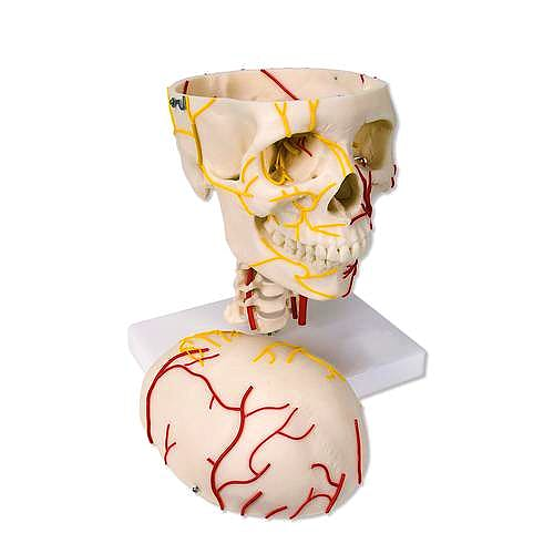 Cráneo Neurovascular