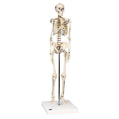 Mini Esqueleto Shorty sobre Zócalo (88 cm.)