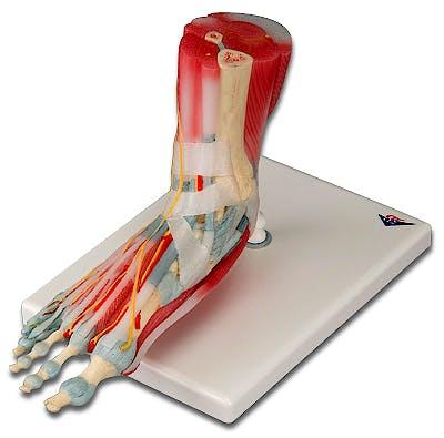 Modelo del Esqueleto del Pie con Ligamentos y Músculos