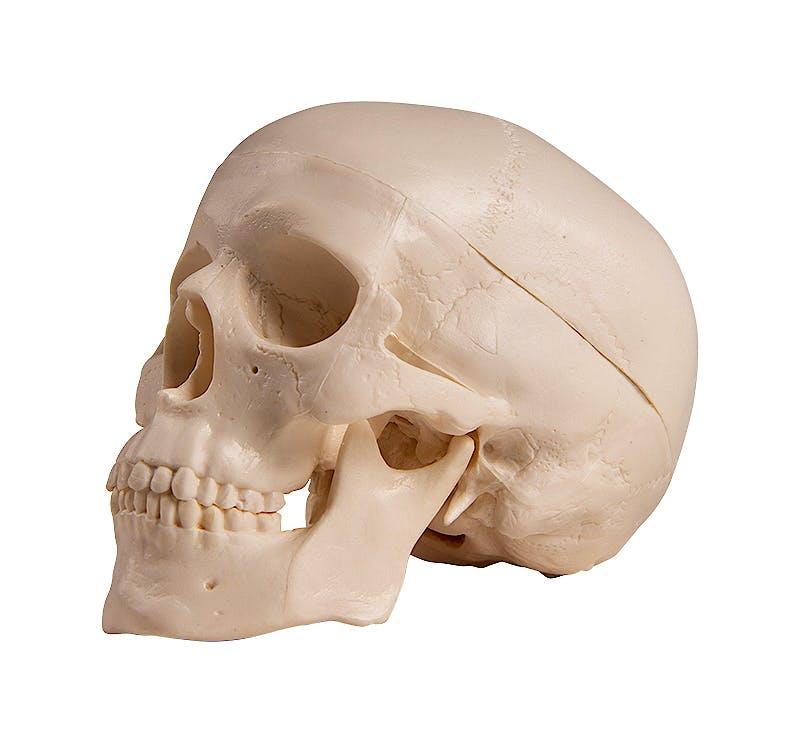 Cráneo en Miniatura, Dimensiones 7,5 x 6,5 x 10 cm.